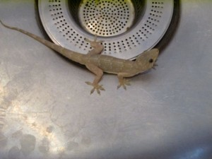 A little critter greeted me one morning in the kitchen sink.